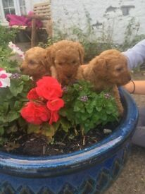 Kc registered miniature poodle puppies
