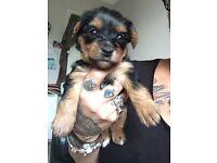 Yorkshier terrier puppy GIRL