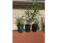 Medium well rooted and shooting bamboo plants