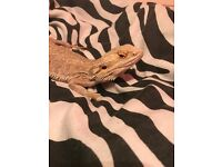 MALE BEARDED DRAGON FOR SALE.