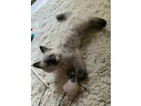 Last! Big fluffy rare mink Ragdoll kitten!