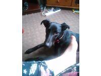 1 year old beddlington whippet cross saluki greyhound
