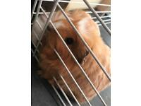 3 female Guinea pigs with indoor cage