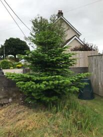 Christmas tree (Nordman Fir) -Free to a good home
