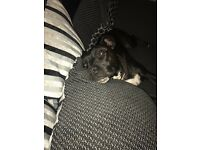 Staffy cross for sale