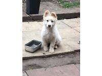 Puppy White German Shepard bitch