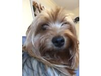 YORKSHIRE TERRIER 6 YR OLD FEMALE MICRO CHIPPED
