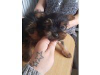 Yorkshire terrier puppys