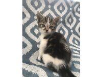 Kitten, 8 weeks