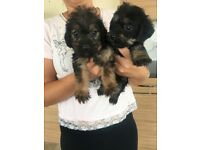 Jackpoo puppies