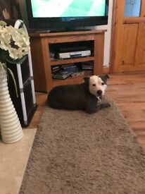 Staffie dog free to good home
