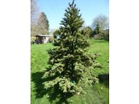 6 foot christmas tree with real fir cones