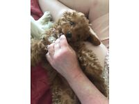 Red Cavapoo girl pup for sale