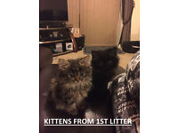 3x Black/Marble/Tabbyish Marble Persian/Ragdoll Kittens (avail.19th September)
