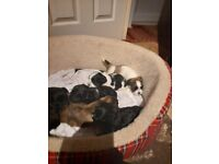 Gorgeous puppies ready to go in 5 weeks