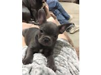 French bulldogs blue boys and girls