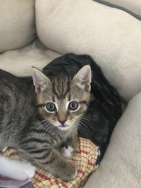 Super cute tabby 8 weeks old ready to take home