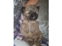 Yorkshire terrier cross Jack Russell