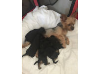 Beautiful puppy Yorkshire Terrier for sale
