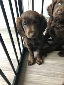 Cockerpoo f1 puppy