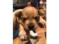 Bichon x Yorkie (Yochon) puppies for sale £375