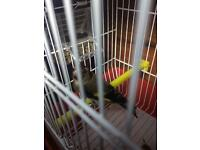 goldfinch for sale