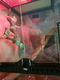 3 crested geckos with vivarium can deliver
