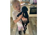 2 wee female black Labrador