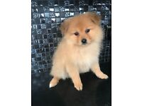 """ONLY 2 LEFT"" Stunning Pomeranian Puppies"
