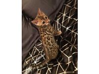 Rosetted brown Bengal female kitten