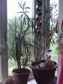 Oleander on the pic right plant