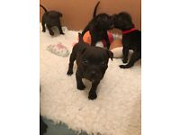 Beautiful Staffie Pups