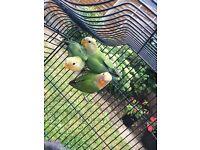 Rosy-faced lovebird Babies