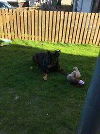 German Wirehaired Pointer X Labrador Pups In Galashiels Scottish