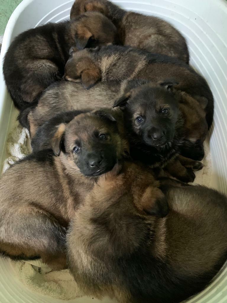 German Shepherds Czech Puppies For Sale In Great Barr West Midlands Gumtree