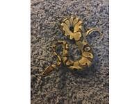 Male Enchi Fire Royal Python / Snake