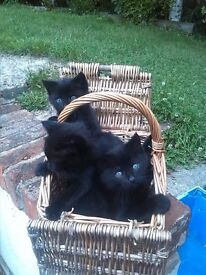 Gorgeous Burmese Kittens British Short Haired Boys & Girls Blacks & Black/White