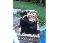 Gorgeous Burmese Kittens British Short Haired Boys & Girls Blacks & Black/White