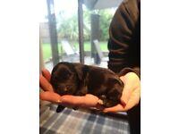 Cockapoo puppies (F1)