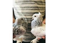 Turkish and Iranian Pigeons for sale