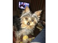 Female miniature Yorkshire terrier 1 year old