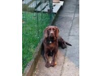 Brown ladrador x spaniel for sale
