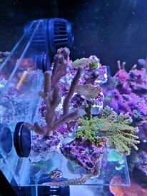 Various coral frags £5-15. Collection En1 4 nz
