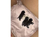 Pde NN clear KC pug puppies £200 deposit now being taken