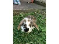 Missing rabbit plz help