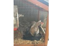 2 female rabbits
