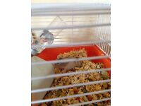 Baby Russian dwarf hamsters for sale males n females £5 each
