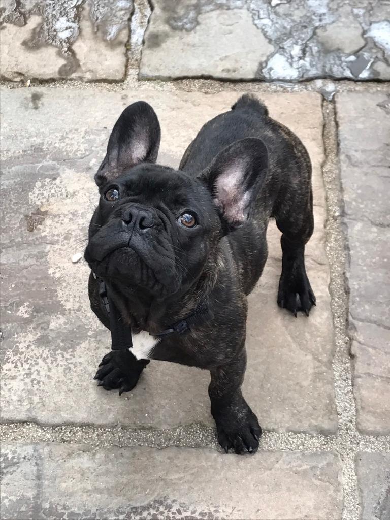 Black Brindle French Bulldog Goldenacresdogscom