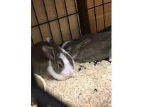FREEE Baby Dutch Rabbit