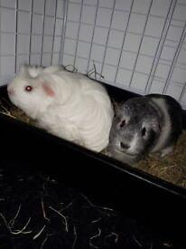 Pair of female Guinea Pigs with C&C Cage